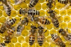 Le api prendono il nettare dal favo per trasformarla in miele immagine stock
