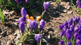 Le api raccolgono il nettare dai fiori sboccianti di croco blu in un letto di fiore vicino alla casa HD 1080p archivi video