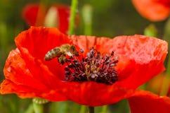 Le api raccolgono il polline dai fiori del papavero rosso Fotografia Stock