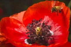 Le api raccolgono il polline dai fiori del papavero rosso Fotografie Stock