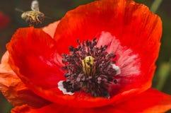 Le api raccolgono il polline dai fiori del papavero rosso Fotografia Stock Libera da Diritti