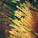Le api raccolgono l'estratto dalle spighette delle piante gialle immagine stock