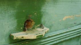 Le api si avvicinano all'alveare stock footage
