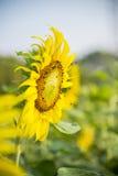 Le api sono sul sunflower10 Fotografie Stock Libere da Diritti