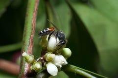 le api stanno lavorando all'albero Fotografia Stock Libera da Diritti