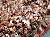 Le api in su si chiudono Immagini Stock
