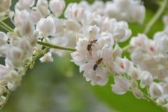 Le api succhiano dal fiore bianco del polline immagine stock