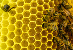 Le api sul lavoro Fotografie Stock Libere da Diritti