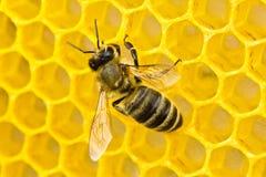 Le api ultimano i lavori sul creare i favi Immagine Stock