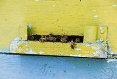 Le api volano all'entrata all'alveare Vassoio dell'alveare Entrata del foro all'alveare Fotografia Stock