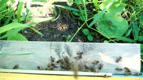 Le api volano nel vassoio Entrata all'alveare archivi video