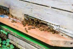 Le api volano nell'entrata dell'alveare sta portando il polline Immagine Stock Libera da Diritti
