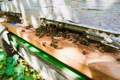 Le api volano nell'entrata dell'alveare sta portando il polline Immagine Stock