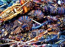 Le aragoste Fotografia Stock