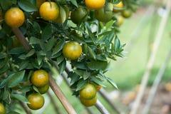 Le arance con frutta arancio sono piantate nel mezzo dei boschetti arancio situati negli stati di elevata altitudine che sono fre Fotografie Stock Libere da Diritti