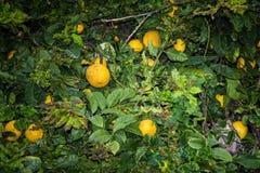 Le arance sono coltivate sotto il sole luminoso di Tenerife Immagine Stock Libera da Diritti