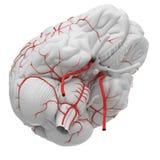 Le arterie del cervello illustrazione vettoriale
