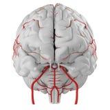Le arterie del cervello illustrazione di stock
