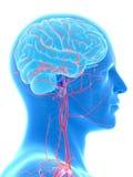 Le arterie della testa e del cervello illustrazione di stock