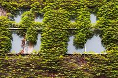 Le bâtiment avec le lierre vert a couvert le mur Image stock