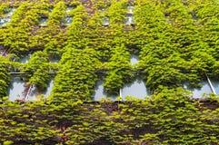 Le bâtiment avec le lierre vert a couvert le mur Photo stock