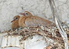 Le bébé a colleté des colombes attendant dans le nid la maman images stock