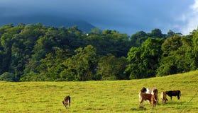 Le bébé effraye manger l'herbe dans le domaine avec la jungle et le volcan à l'arrière-plan, pays de Costa Rica photos stock
