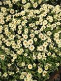 Le bébé fleurit au printemps Photographie stock libre de droits