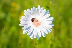 Le bébé nouveau-né dort en fleur de marguerite blanche Photographie stock