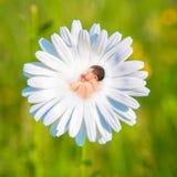 Le bébé nouveau-né dort en fleur de marguerite blanche Photos libres de droits