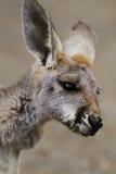 Le bébé rouge de kangourou (rufus de Macropus) Photo stock