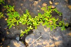 Le bébé vert frais laisse la salade s'élevant dans le domaine Photo libre de droits