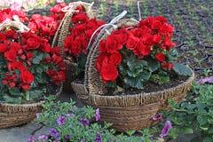 Le bégonia rouge fleurit dans les paniers tricotés pour des cadeaux Modèle floral, fond de fleurs Photographie stock libre de droits