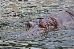 Le béhémoth émerge de l'eau Photographie stock libre de droits