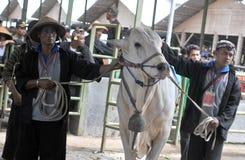 Le bétail conteste en Indonésie Photographie stock