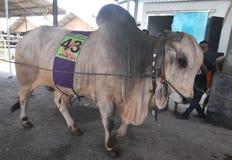 Le bétail conteste en Indonésie Photos stock