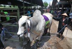 Le bétail conteste en Indonésie Photos libres de droits