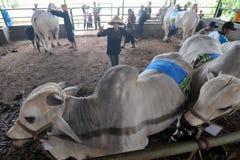Le bétail conteste en Indonésie Image stock
