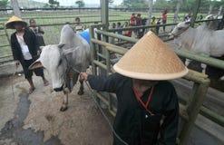 Le bétail conteste en Indonésie Images stock