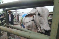 Le bétail conteste en Indonésie Images libres de droits
