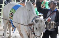 Le bétail conteste en Indonésie Photo stock