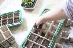 Le b?b? plante semant, des plateaux de trou noir pour les jeunes plantes agricoles La plantation de ressort Jeune plante tôt, cul photos stock