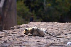 Le babouin de prière Photo libre de droits