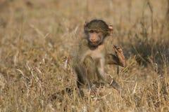 Le babouin mignon de bébé se reposent dans l'herbe brune se renseignant sur la nature quel t Photos stock