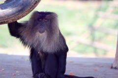Le babouin regarde en avant Photo stock