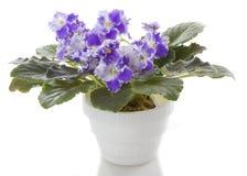 Le bac fleurit la fleur de saintpaulia photographie stock
