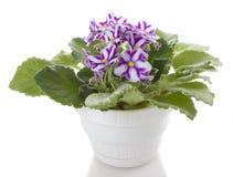 Le bac fleurit la fleur de saintpaulia photographie stock libre de droits