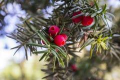 Le baccata de Taxus est un conifère que c'est l'arbre à l'origine connu sous le nom d'if, cependant avec d'autres arbres relatifs photos stock