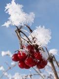 Le bacche congelate si avvicinano a Brod Moravice Fotografia Stock