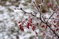 Le bacche del crespino nel gelo nel giorno di inverno, Russia centrale Immagine Stock Libera da Diritti